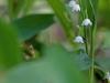 Maiglöckchen, Convallaria majalis - eins