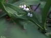Maiglöckchen, Convallaria majalis - vier