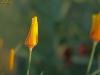 Eschscholzia californica, Schlafmützchen, Kalifornischer Mohn