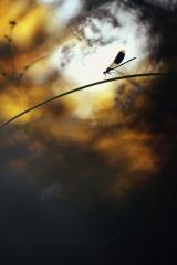 """""""Calopteryx inmitten von Farben"""", GDT ENJ 2011, Constant Couteille"""
