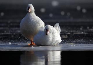 Weiße Enten