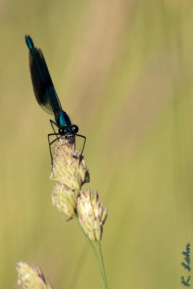 Gebänderte Prachtlibelle (Calopteryx splendens) Männchen