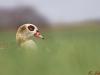 Nilgans - Alopochen aegyptiacus