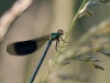 Gebänderte Prachtlibelle (Calopteryx splendens) Männchen - eins