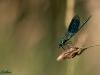 Gebänderte Prachtlibelle (Calopteryx splendens) Männchen - zwei
