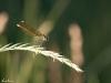 Gebänderte Prachtlibelle (Calopteryx splendens) Weibchen - drei
