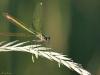Gebänderte Prachtlibelle (Calopteryx splendens) Weibchen - vier
